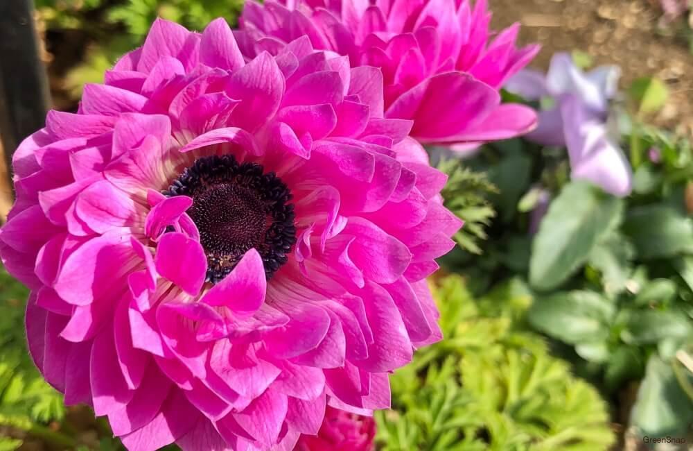 ピンク色の八重咲きアネモネの花の画像