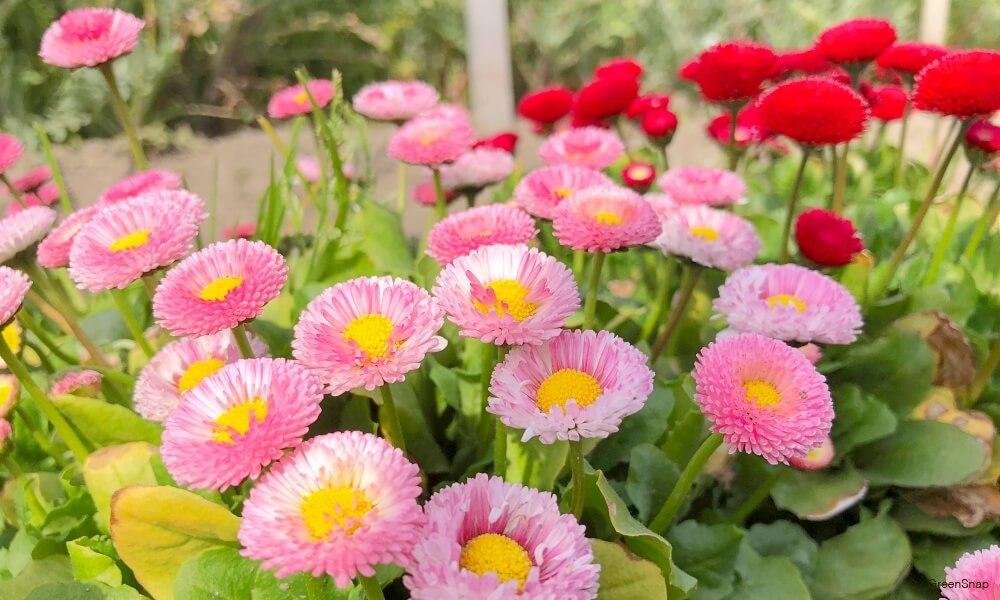 たくさんの地植えされたピンク色のデージー(デイジー、ヒナギク)の花の画像