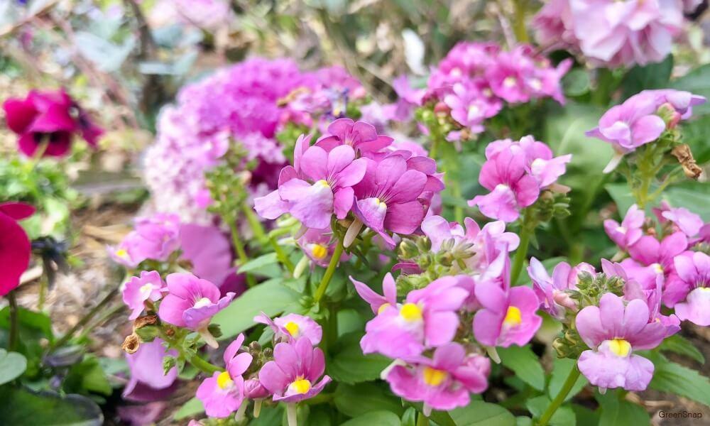 ネメシア 花