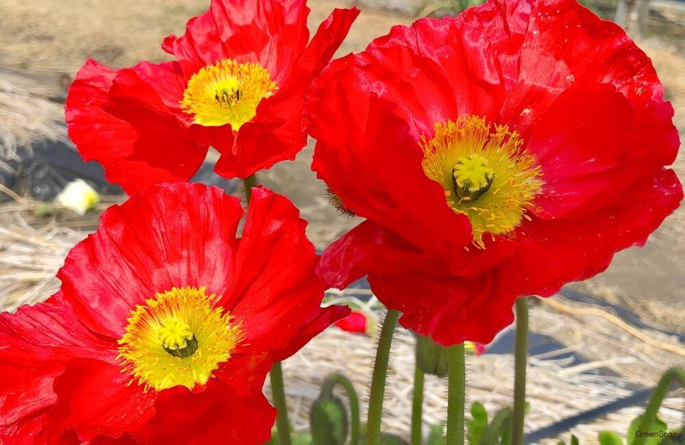 赤いポピーの花の画像