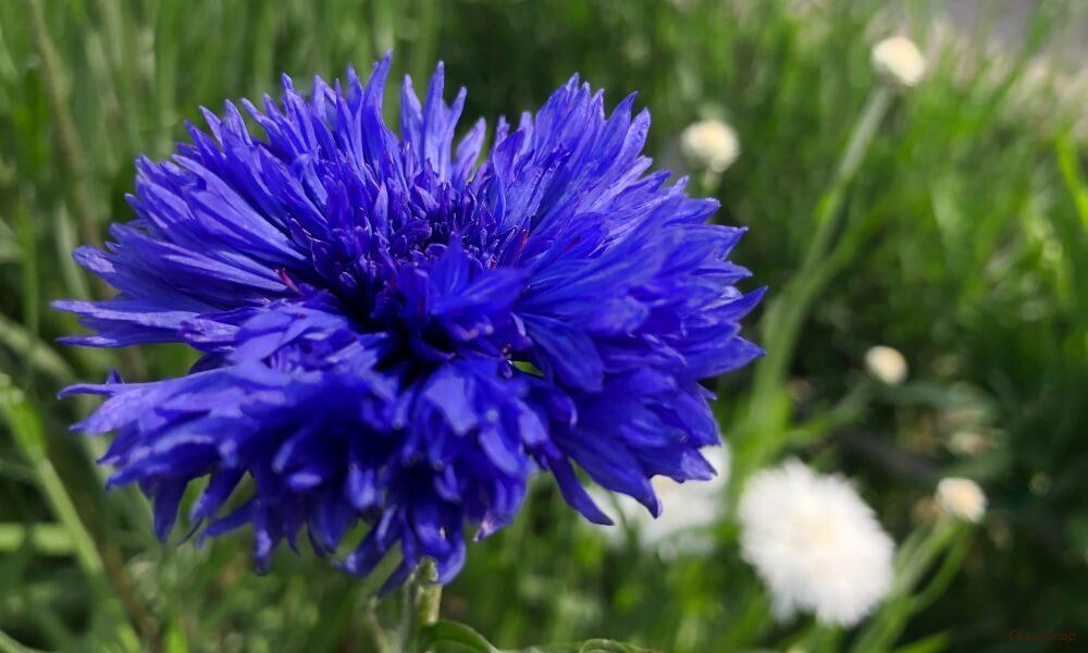 青色の矢車草の花の画像
