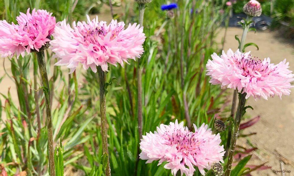 ピンク色の矢車草の花の画像