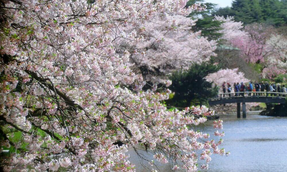新宿御苑に咲いている桜