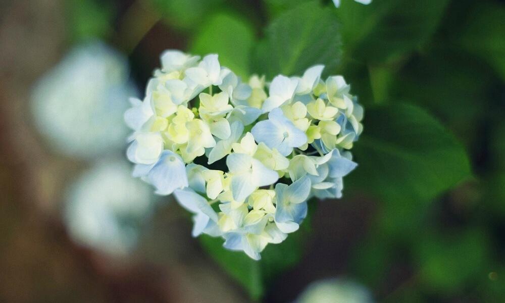 神戸布引ハーブ園に咲いていたハート型のアジサイ