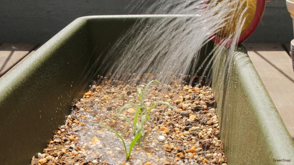 ホウレンソウの芽に水やりをしている画像