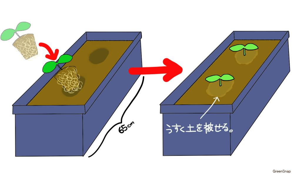 キュウリの育て方!苗植えの画像