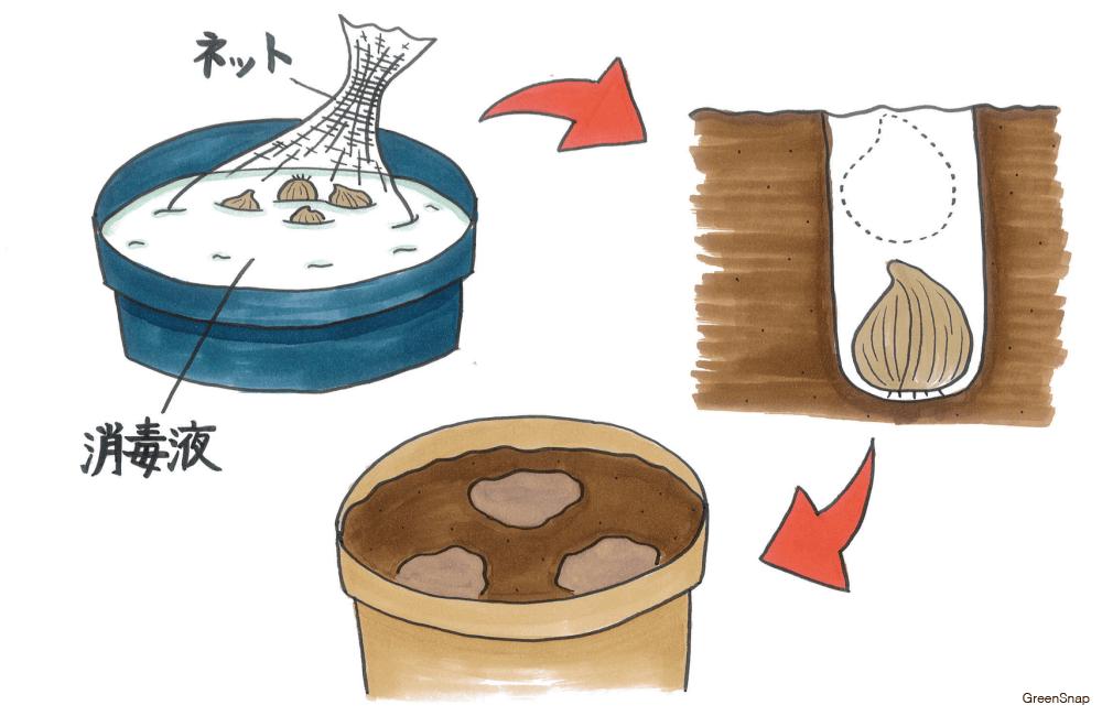 【チューリップの育て方】球根の植え方や時期、水やり、肥料のコツは?