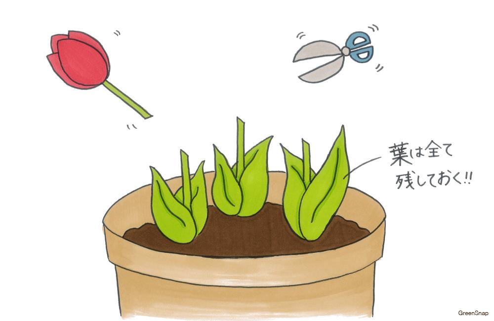 【チューリップの育て方】花を切るイラスト