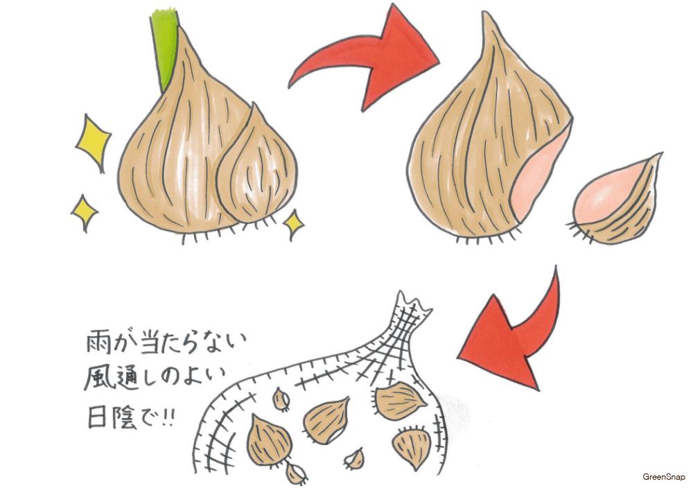 【チューリップの育て方】球根の保存方法のイラスト