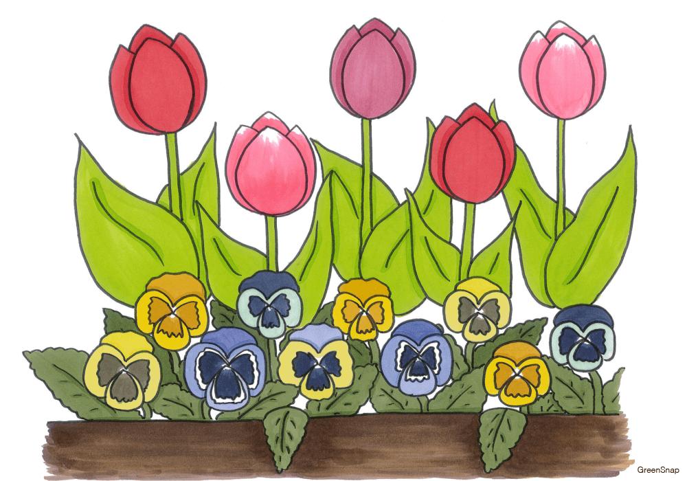 チューリップとパンジーの寄せ植え花壇のイラスト