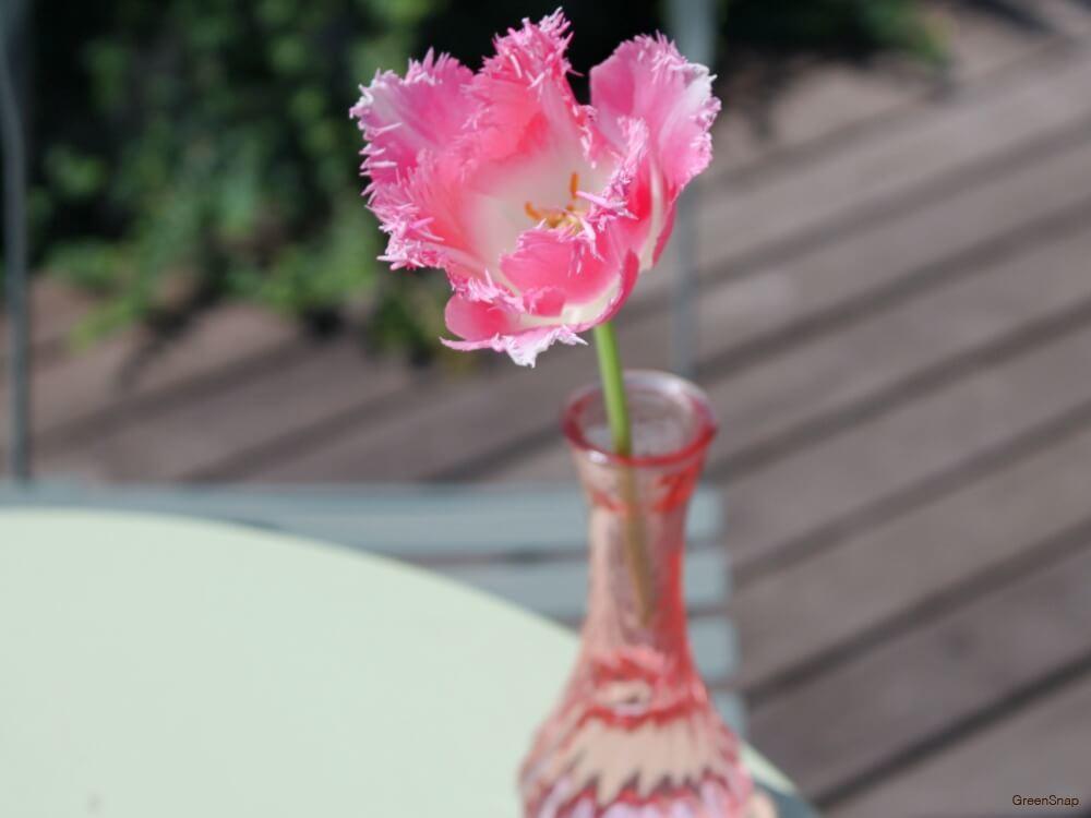 チューリップ 切り花