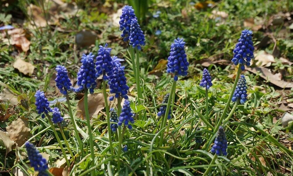 ムスカリの花の寄せ植え画像