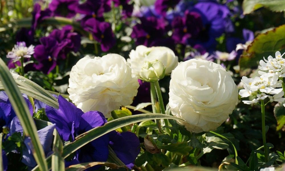 白色のラナンキュラス 花