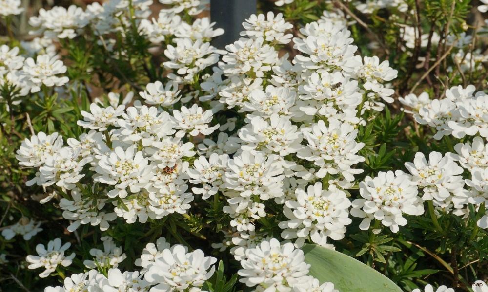 白い花 宿根イベリス