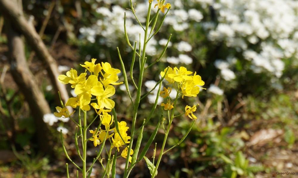 黄色い花 ローマンカモミール
