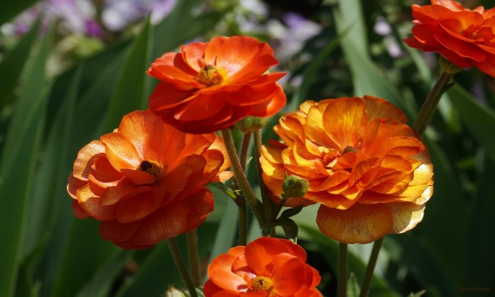 オレンジのラナンキュラス 花