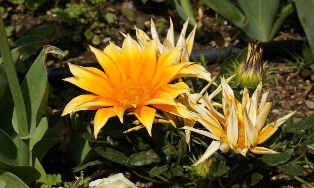 黄色い花 ガザニア