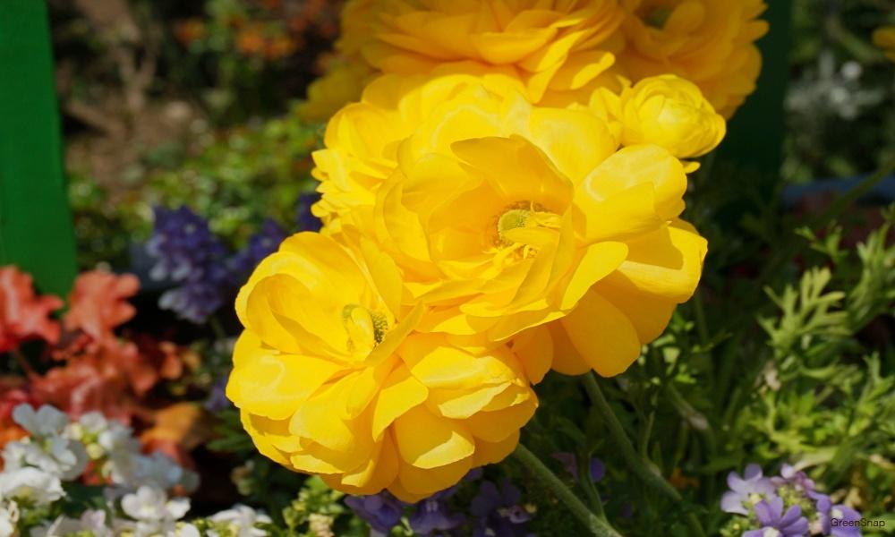 黄色いラナンキュラス 花