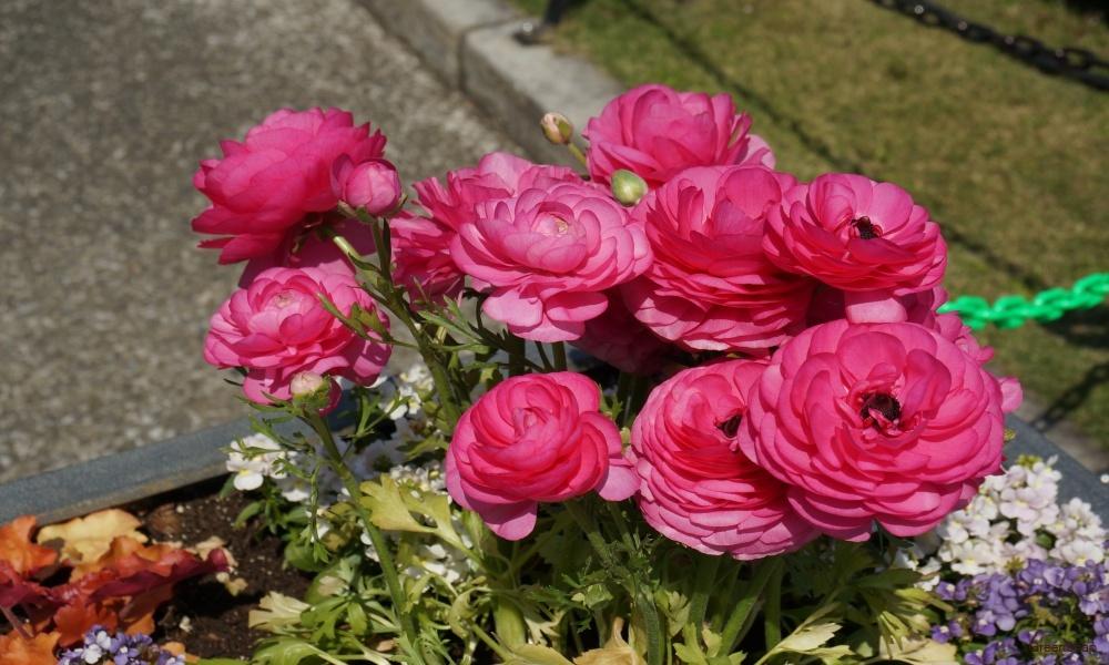 ピンクのラナンキュラス 花