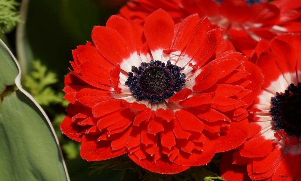 赤いアネモネ 花