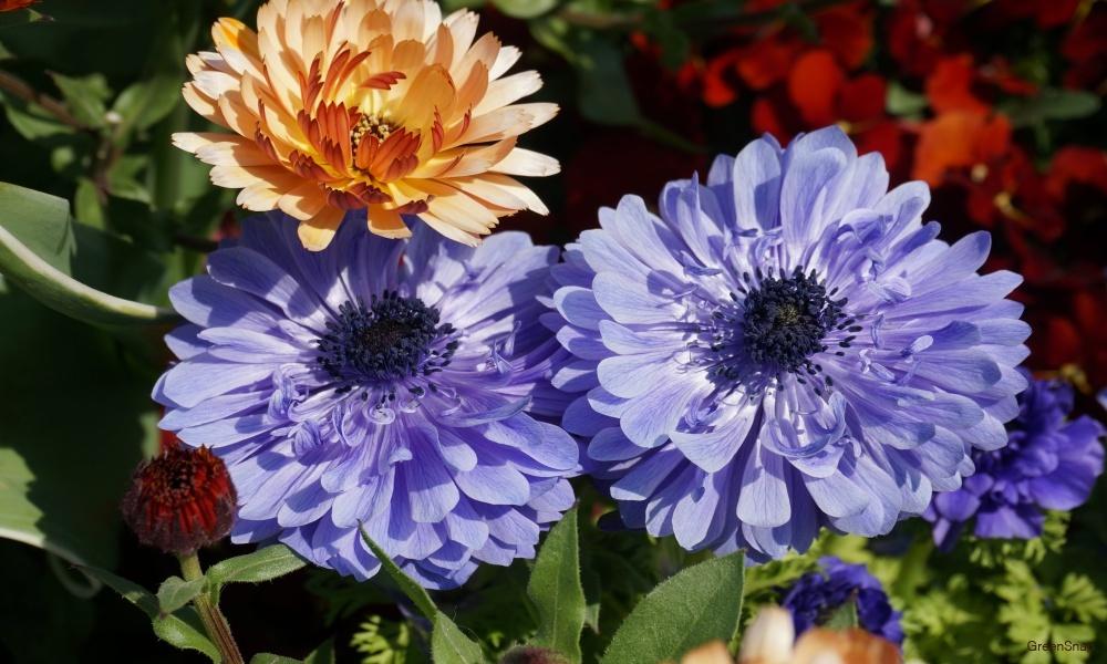 紫のアネモネ 花