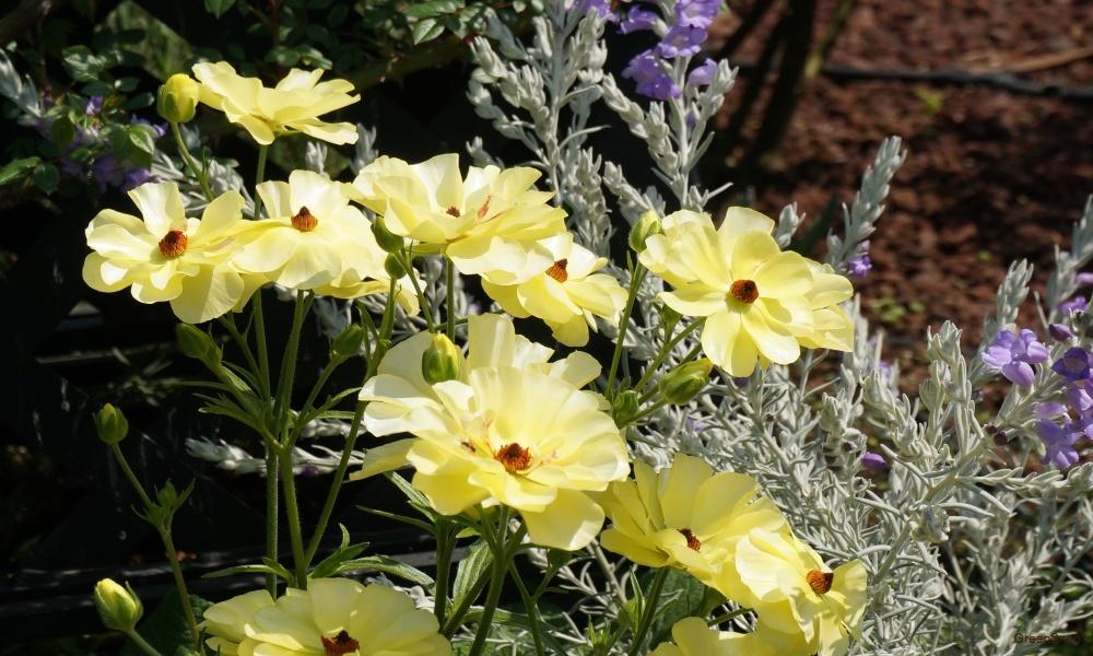 黄色い花 ラナンキュラス 花