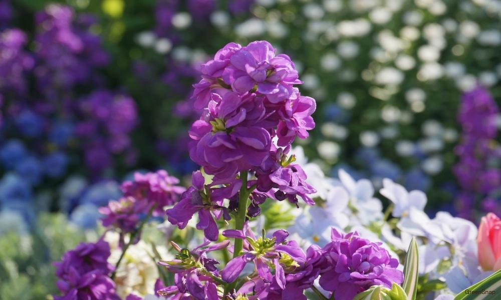 紫のストック