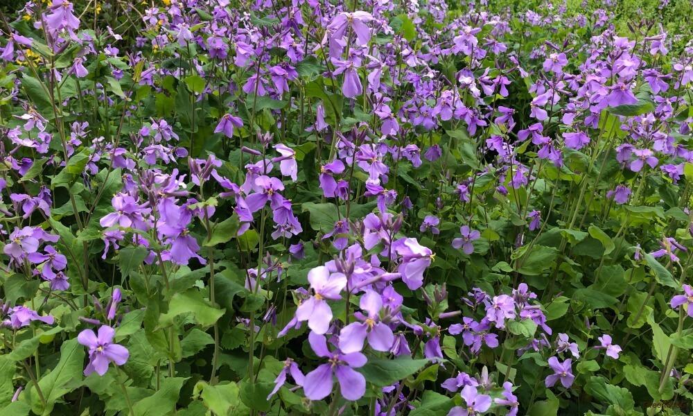 紫色のアヤメの花の画像
