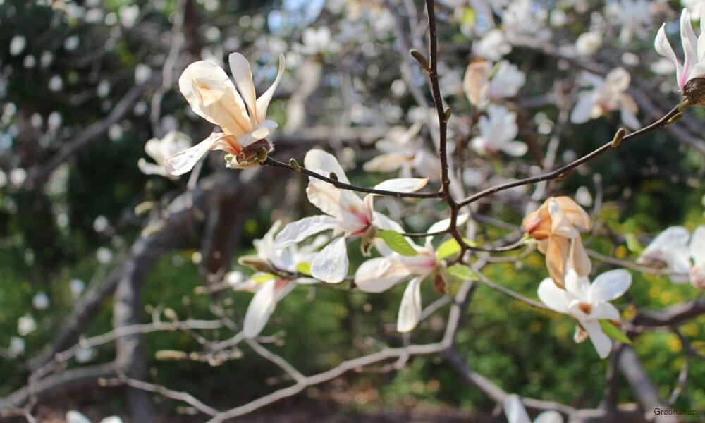 コブシの花の画像