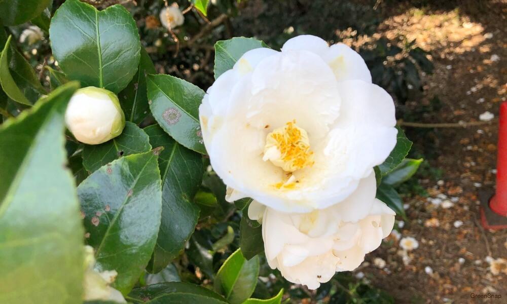 白い椿の花の画像