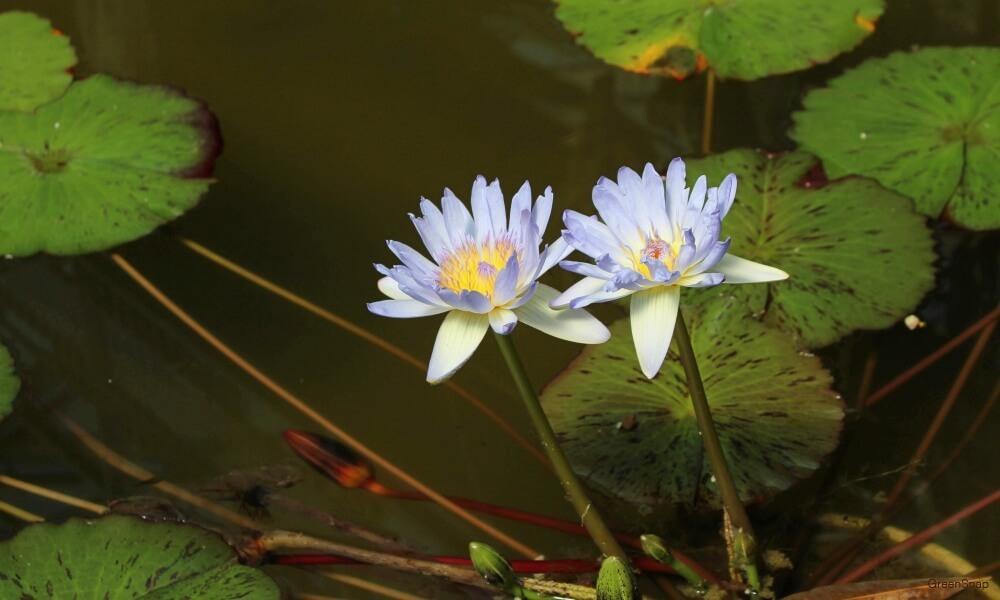 紫色のスイレンの花の画像