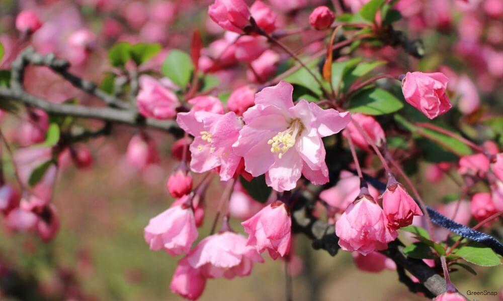 ピンク色のハナカイドウの花の画像