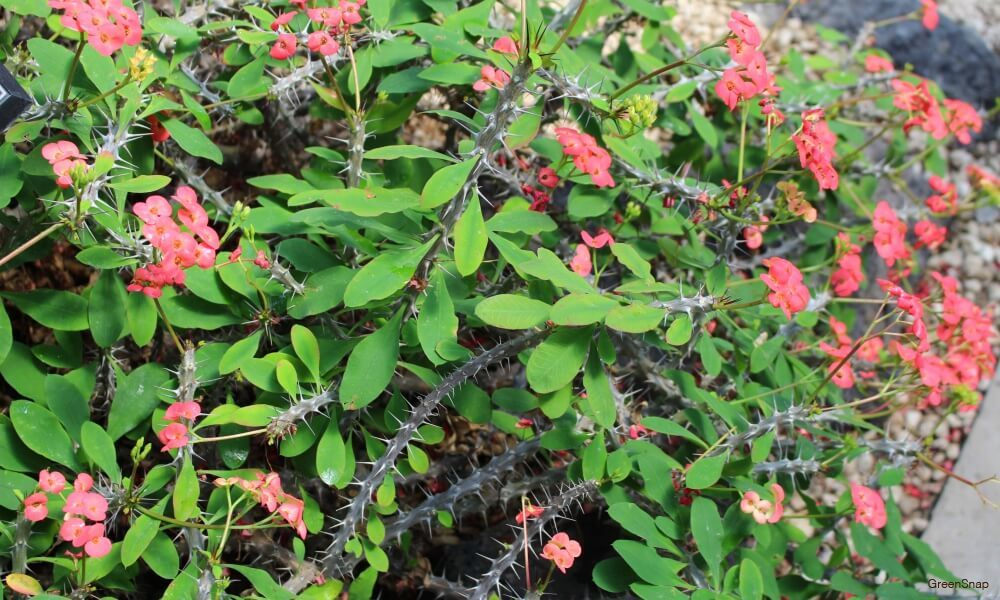 ピンク色のハナキリンの花の画像
