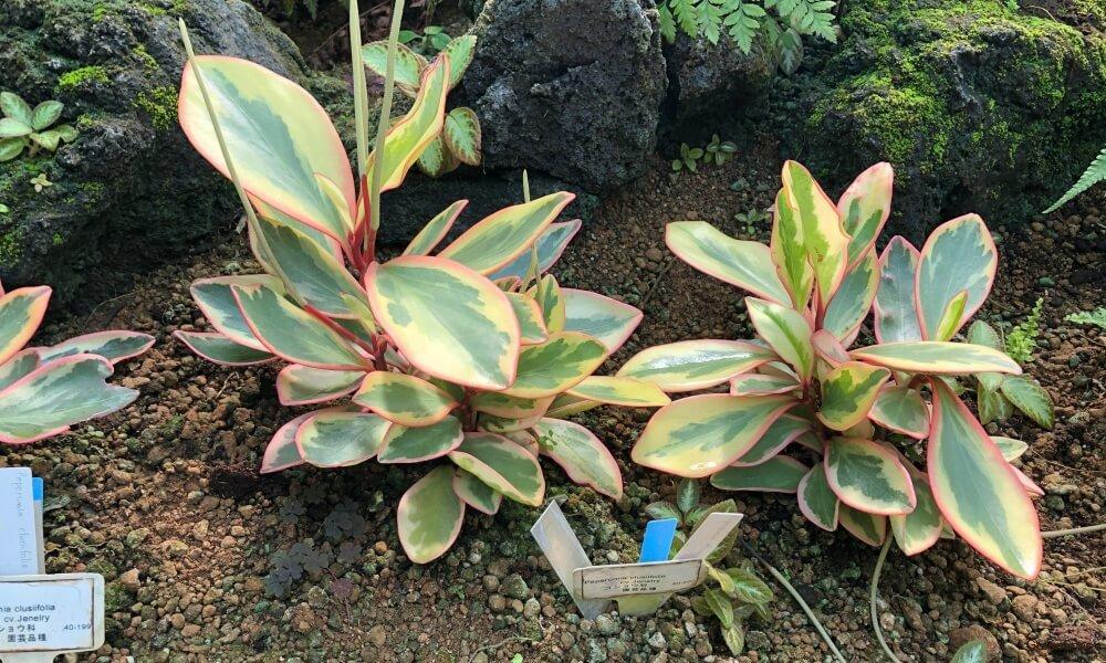 観葉植物ペペロミアの画像