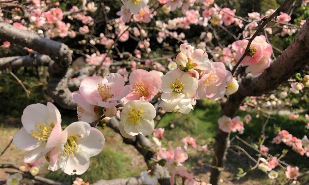 ピンク色のボケの花の画像