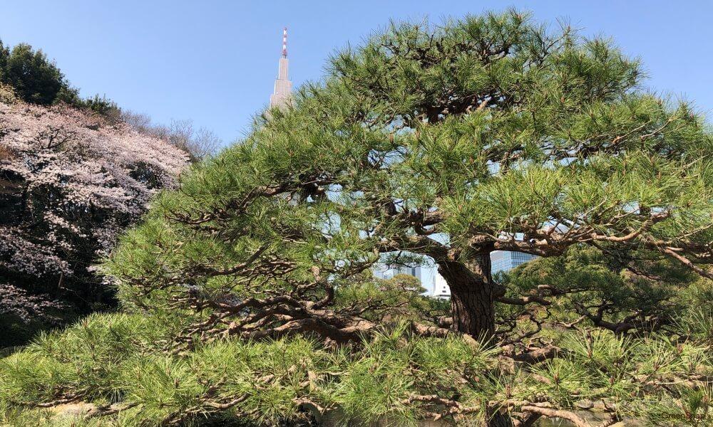 松の木 マツ