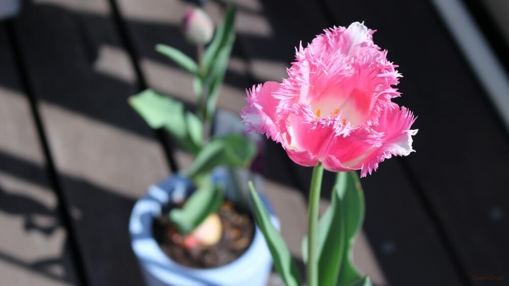 ピンク フリンジ咲 チューリップの花の画像