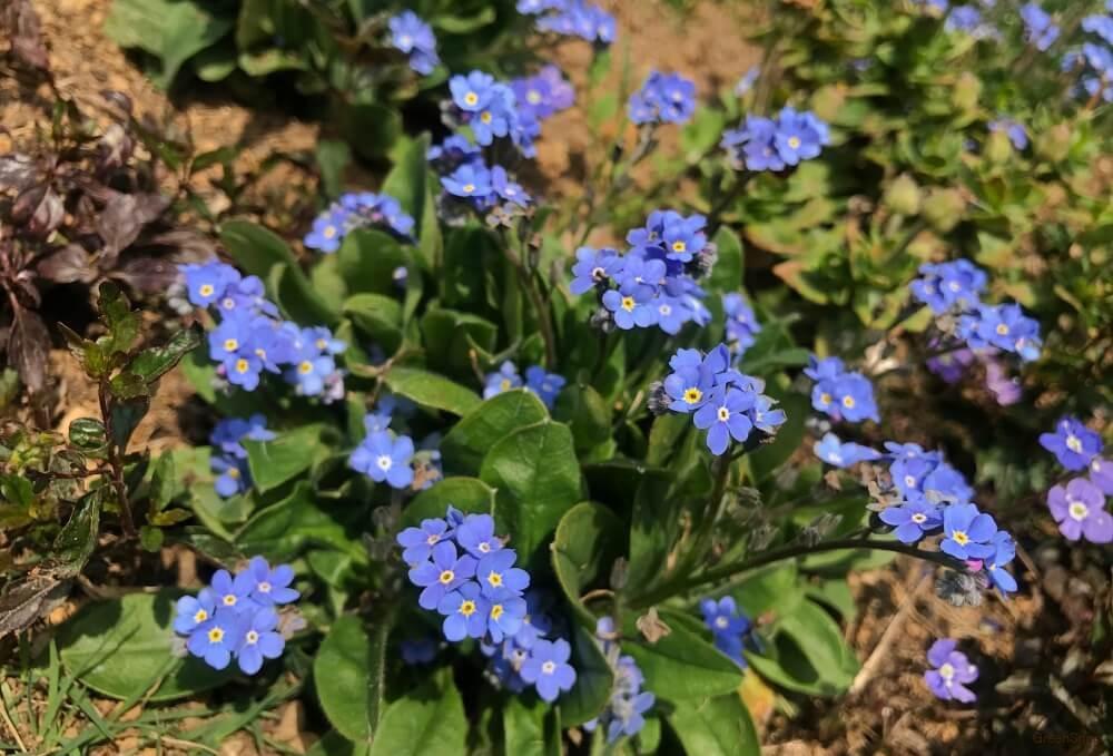 ワスレナグサ 花
