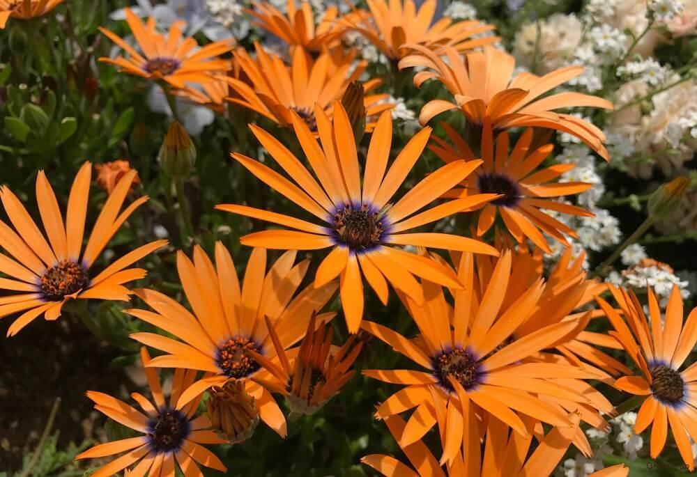 ディモルフォセカの花の画像