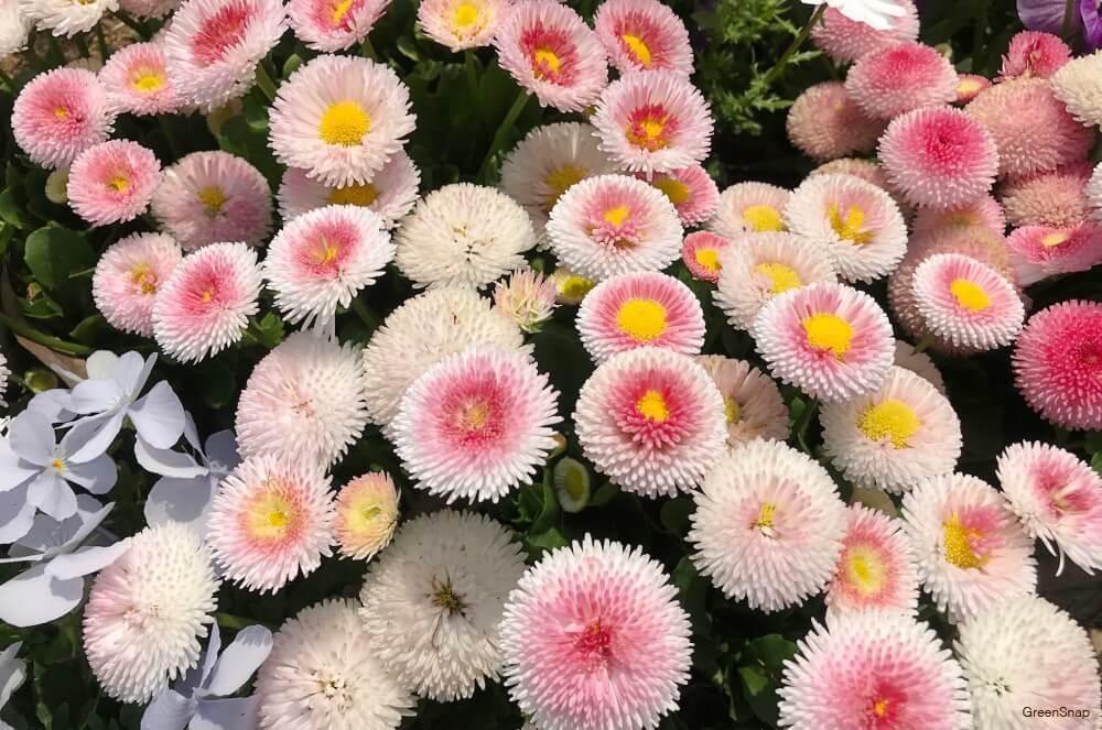 デージー(デイジー、ヒナギク)の花