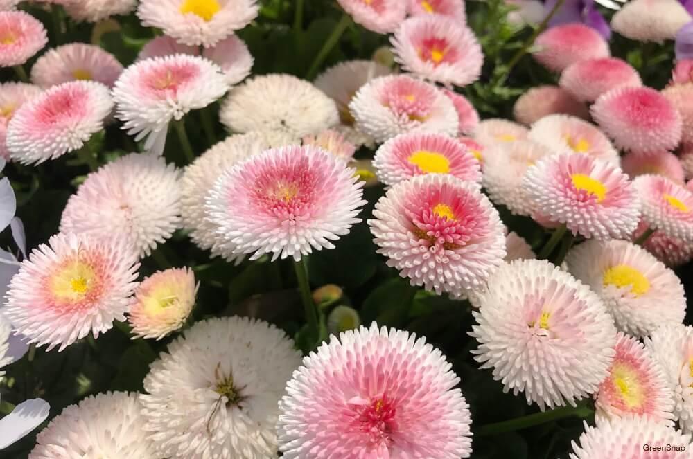 ピンク色のデージー(デイジー、ヒナギク)の花の画像