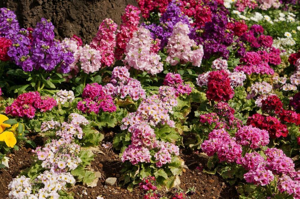 ストック 花 寄せ植え