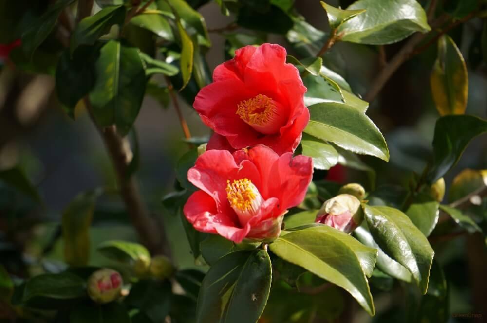 赤いツバキの花