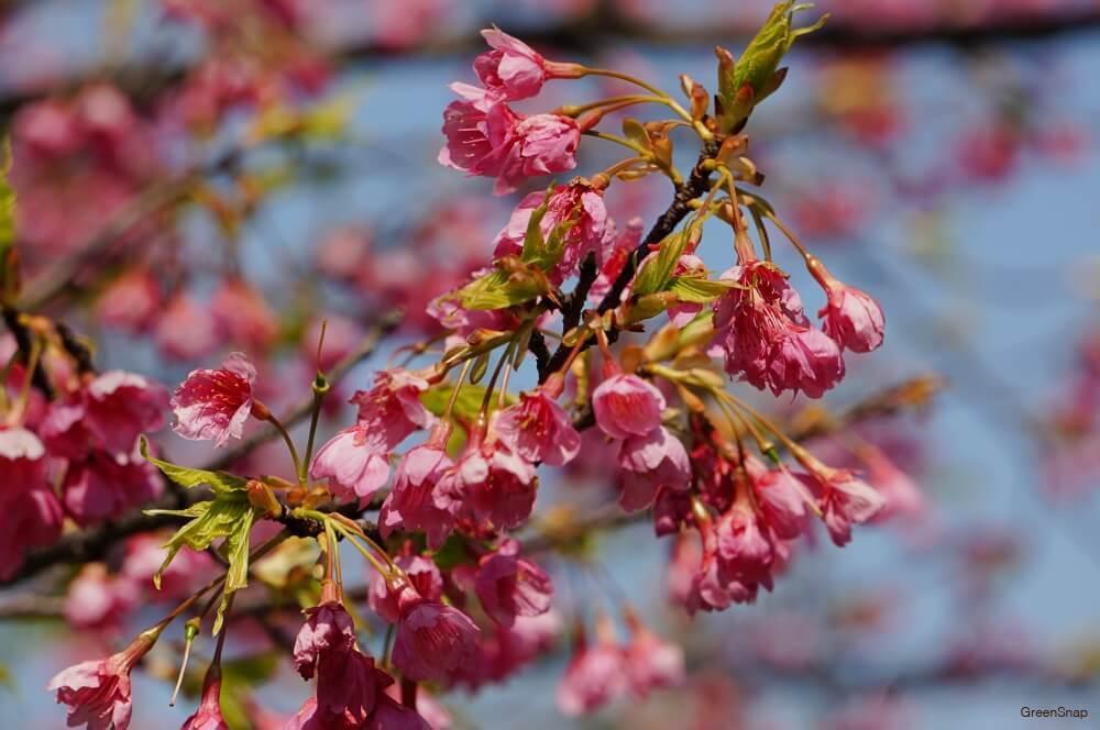リュウキュウヒカンザクラ 桜