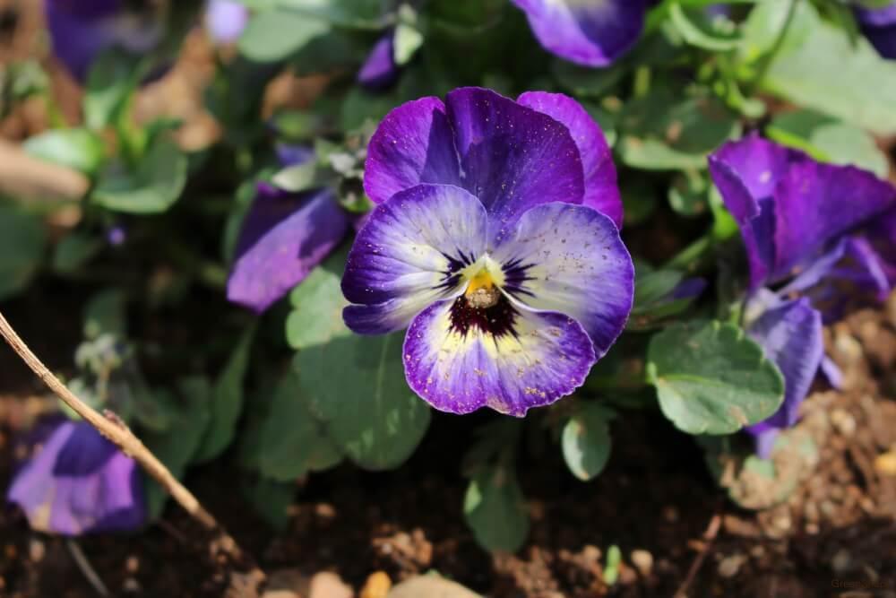 紫色 パンジー