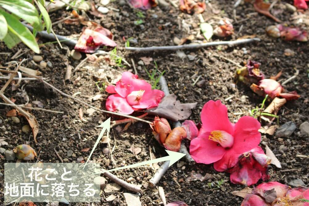 ツバキの花が散っている