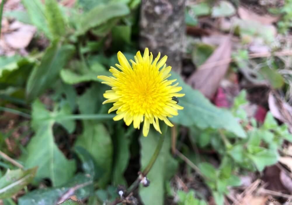 タンポポ 花
