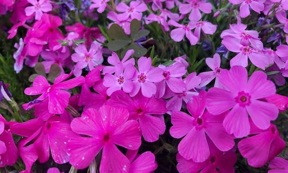 サクラソウ 花