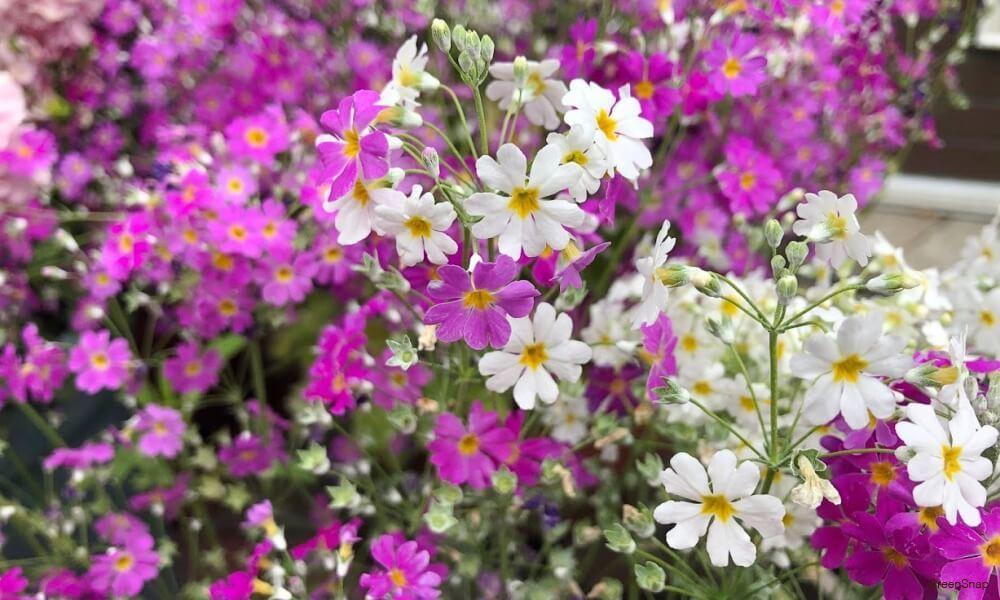 プリムラ 花