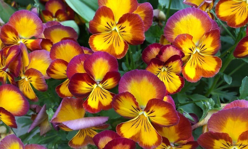 黄色絵と赤色のパンジーの花